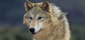 wolvesBlogPostFeature