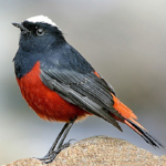 Control: White-capped Redstart