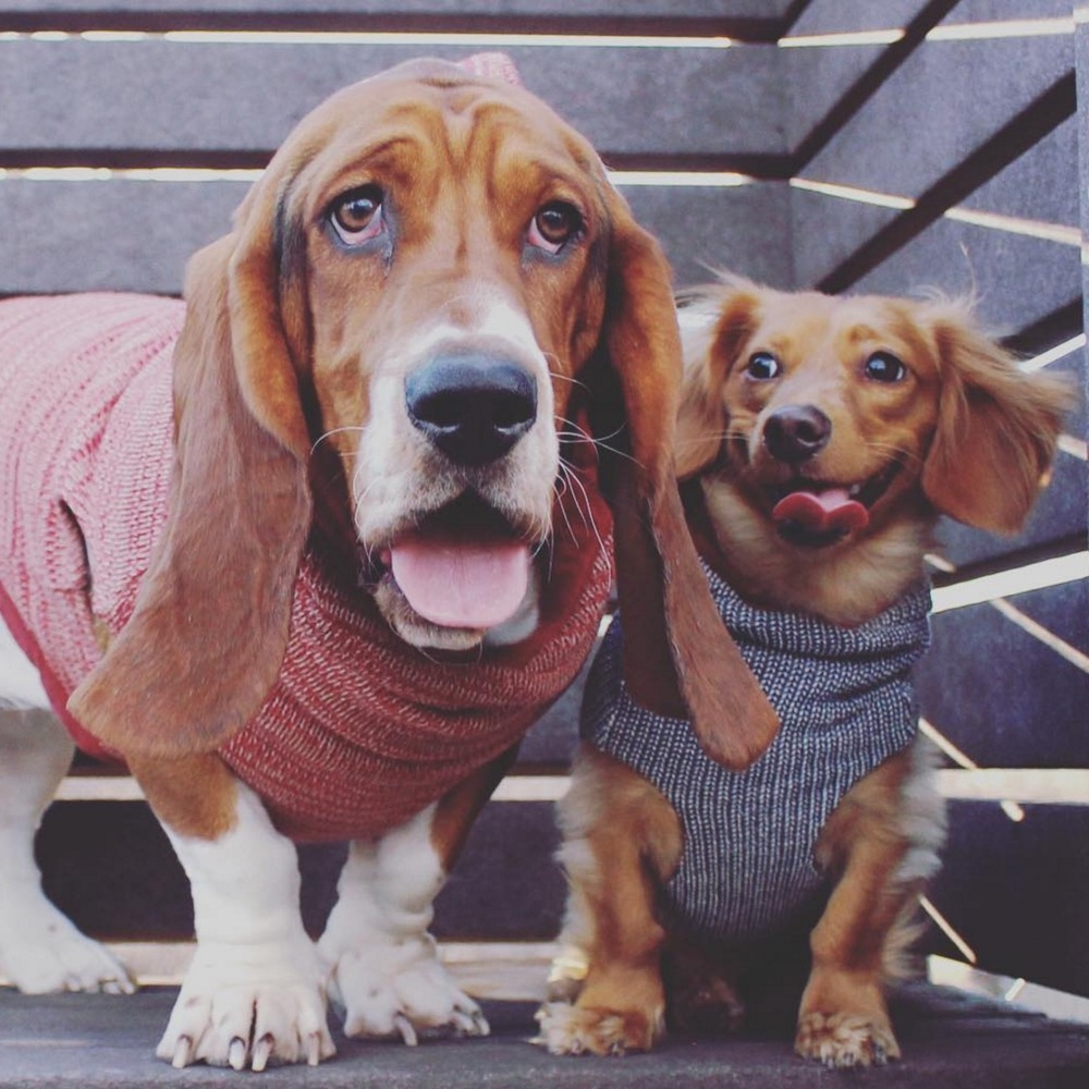 """""""We love our shirts from @longdogclothing. They are made of top quality material and the fact that they are reversible makes them perfect! We've recently placed our second order, and can't wait for it to arrive. This shop makes us smile! Great people, pups, and products!"""" - Mandy, Patton & Baxter (@baxterthebossydachshund)"""