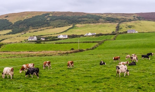 Dairy cows in County Mayo in the west of Ireland. (Pat O'Malley via Flickr)