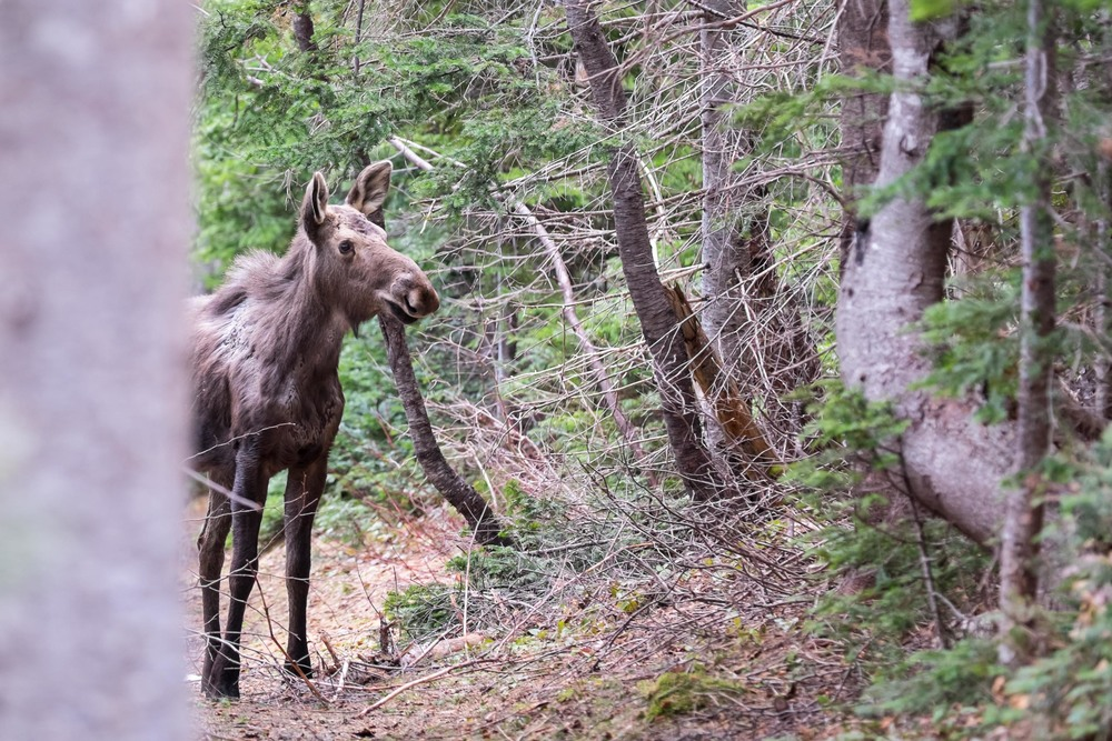 "Moose number ONE, ""Hey buddy, don't charge at me please"""