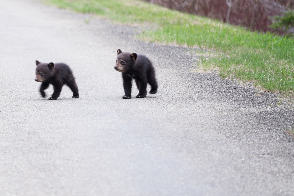 Why did the cubs cross the road?  To follow momma bear of course! - Young Bear Cubs Forillon National Park