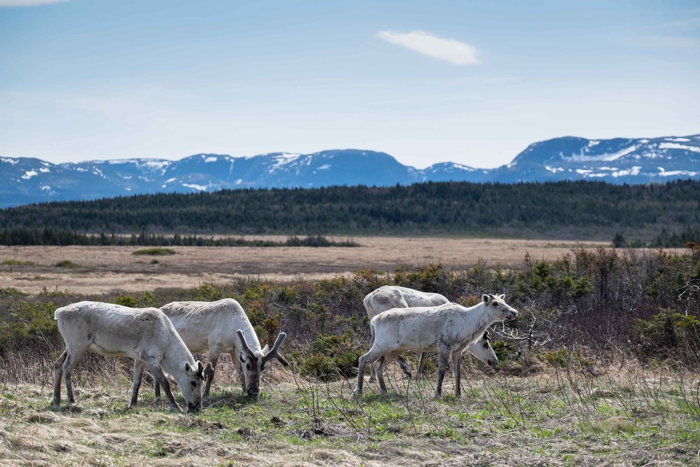 Caribou Herd, Gros Morne National Park.