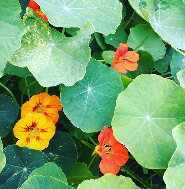Spicy and beachy nasturtiums #septemberbythesea #writingretreat