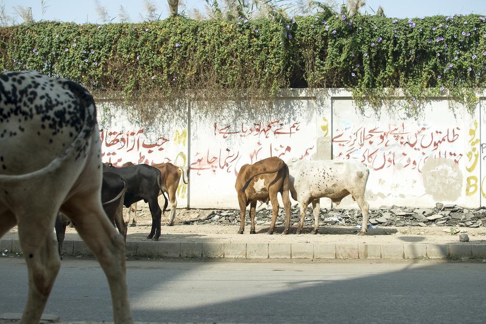Cows, Karachi, Pakistan, 2015