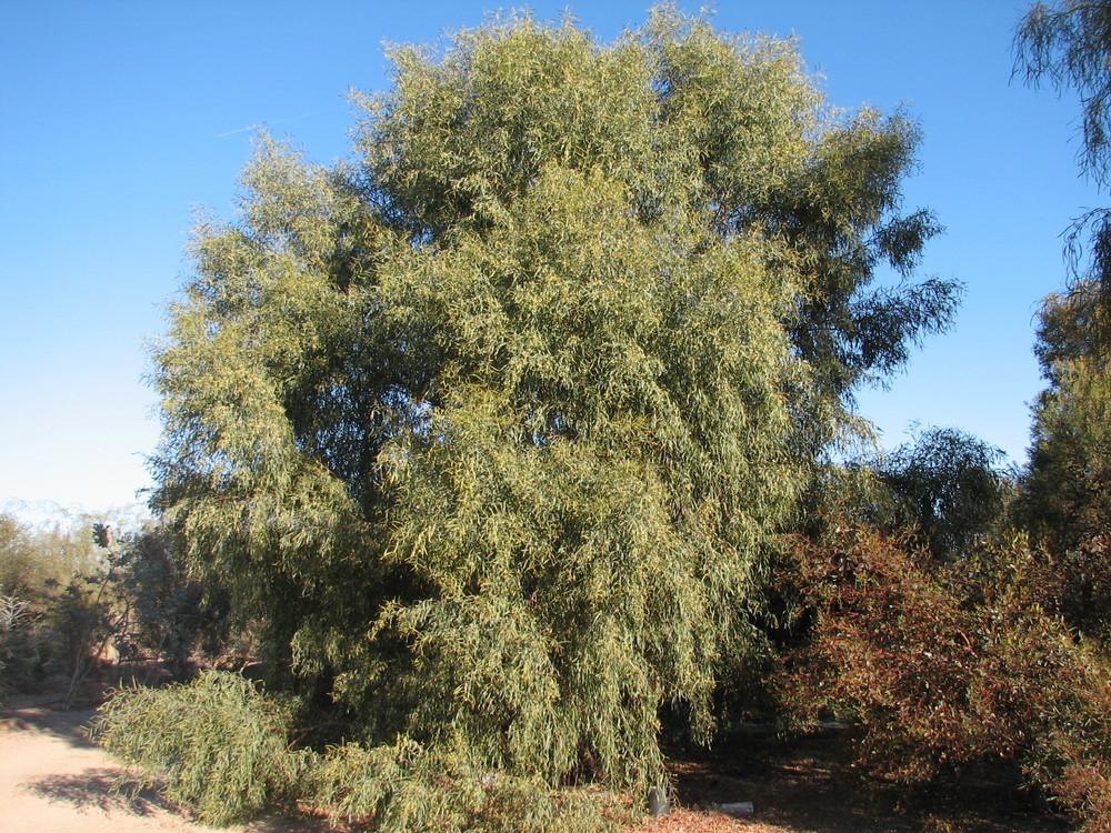 9 Acacia salicina WILLOW ACACIA.jpg