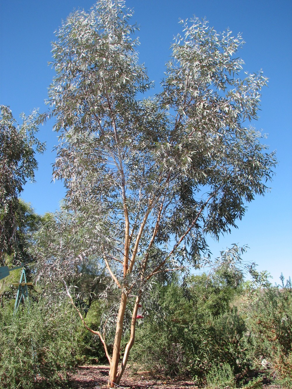Australian native plant nursery australian outback plants native evergreen flower medium tree tree eucalyptus izmirmasajfo