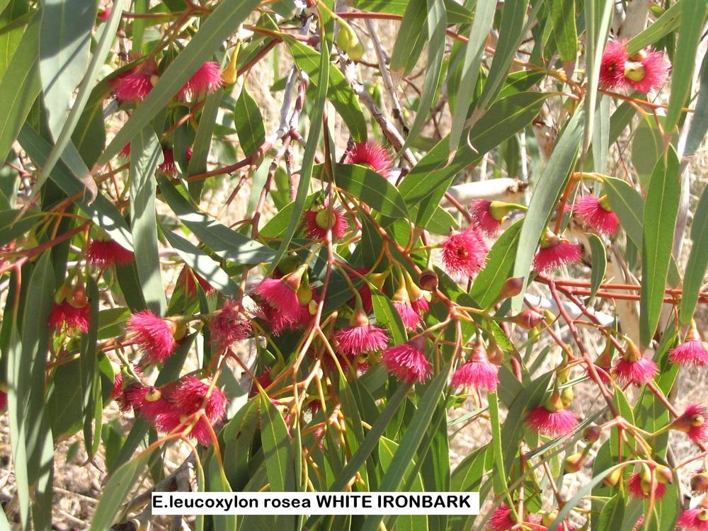 m1 E. leucoxylon rosea WHITE IRONBARK.JPG