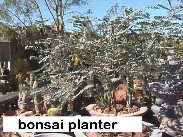 l E. kruseana bonsai planter.jpg
