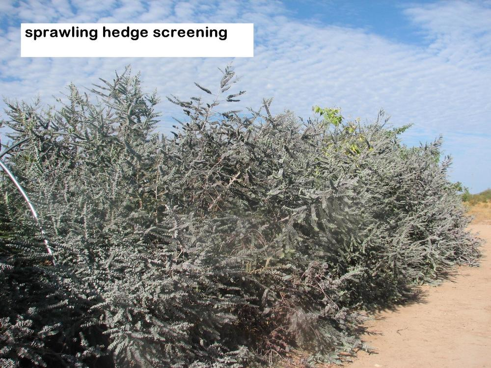 l Euc.kruseana sprawling screen hedge row.jpg