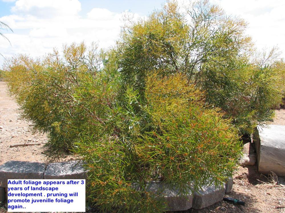 oe  E. Moon Lagoon Adult foliage.jpg