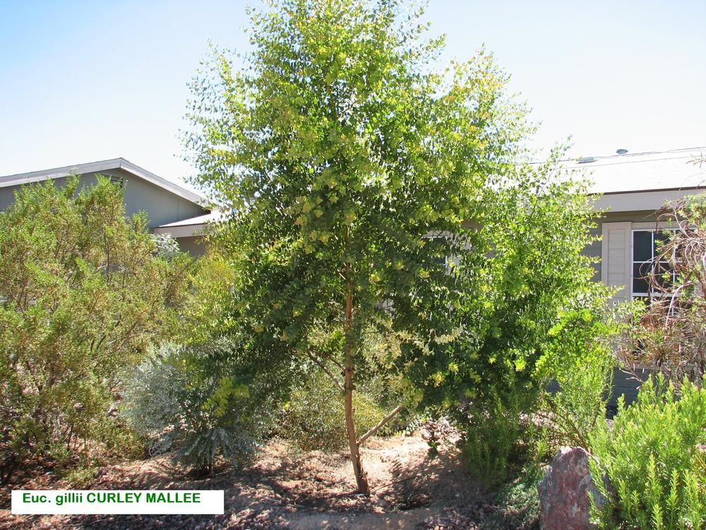 j E. gillii Verde Homestead garden.jpg