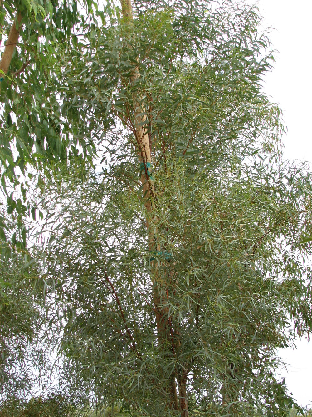 s Salt River Gum full foliage  E.spathulata lookalike...jpg