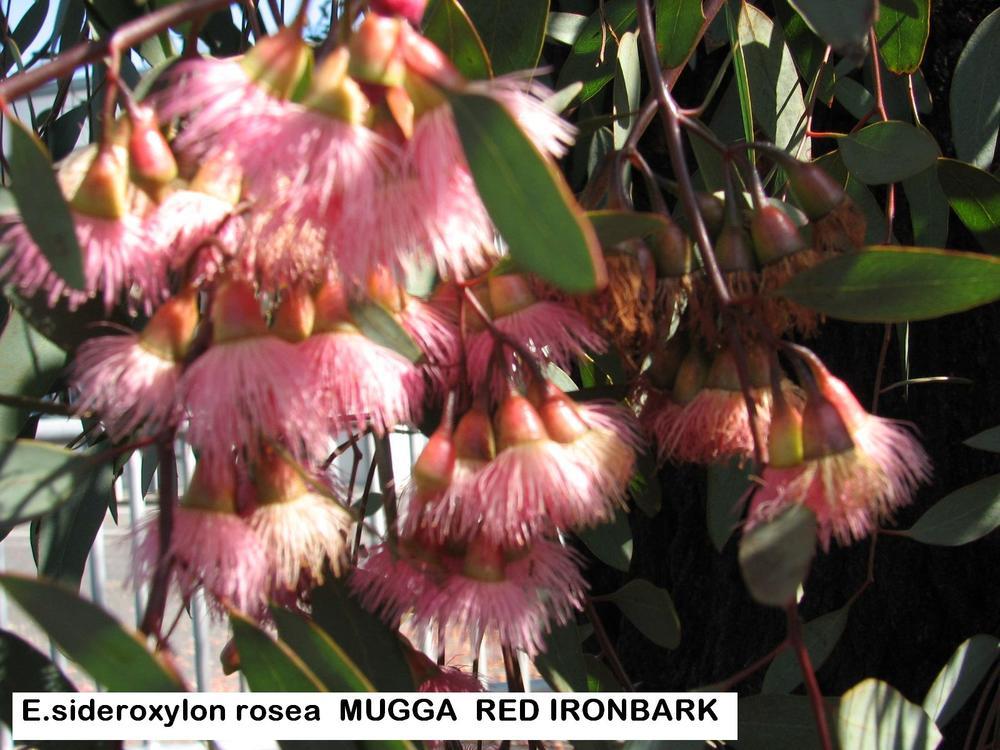 t1 E. sideroxylon rosea RED IRONBARK MUGGA.jpg