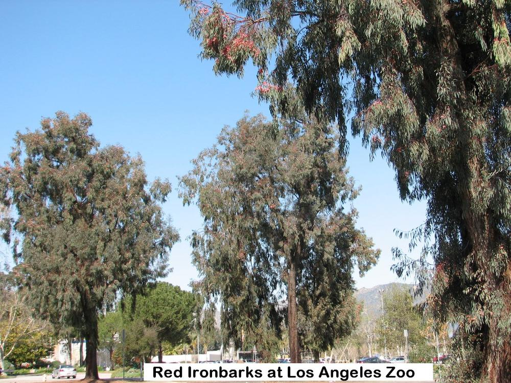 t3 Los Angeles Zoo IRONBARKS.jpg