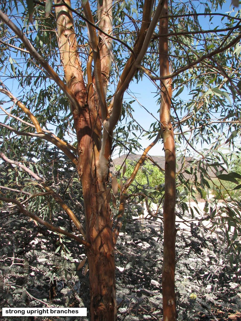 t8 E. sideroxylon  upright strong wind resistant branches.jpg