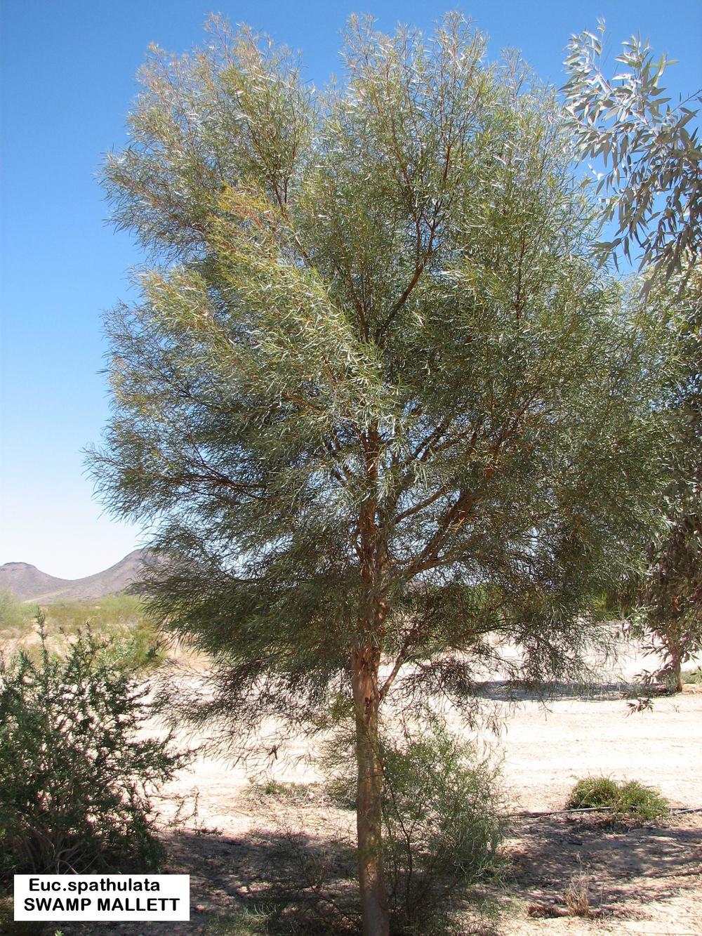 v Euc.spathulata SWAMP MALLET.jpg