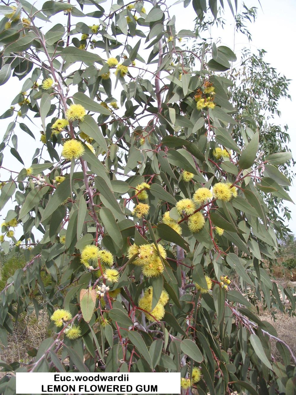 z1 E.LEMON FLOWERED GUM  large clusters.JPG