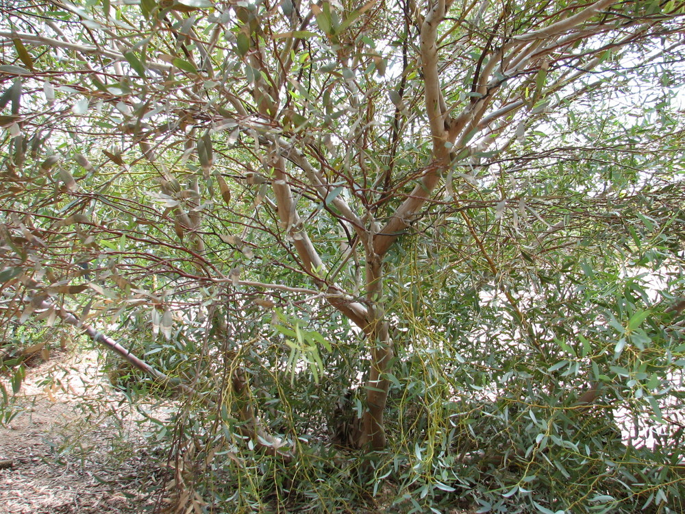 bbb Euc. calycogona GOOSEBERRY MALLEE trunks from the ground.jpg