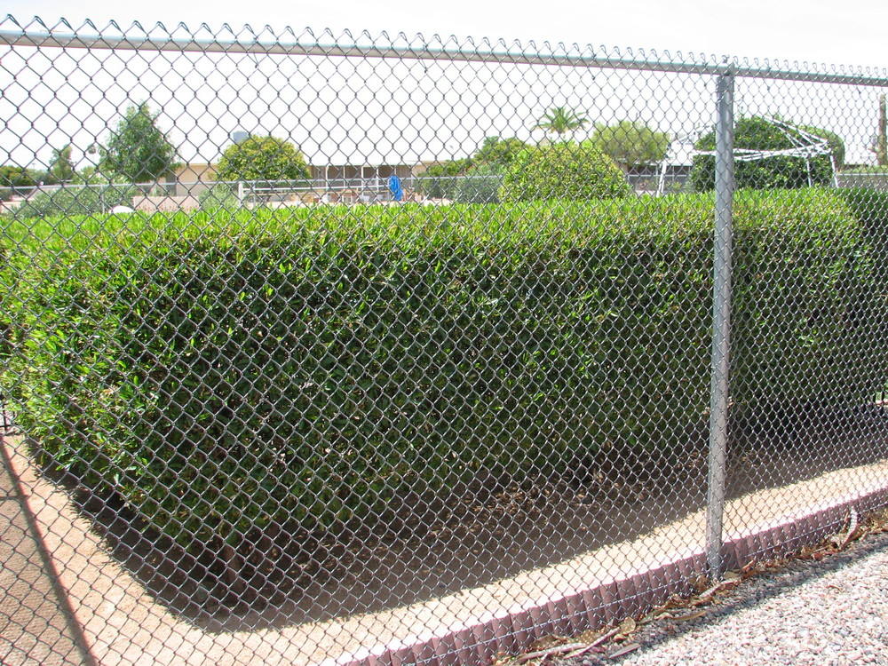 17 Dodonea viscosa GREEN HOPSEED Clipped hedge.jpg