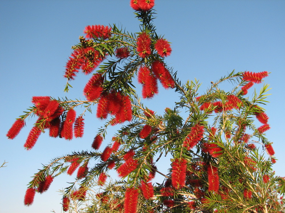 14 Captain cook Bottlebrush brilliant flowers in Spring.jpg