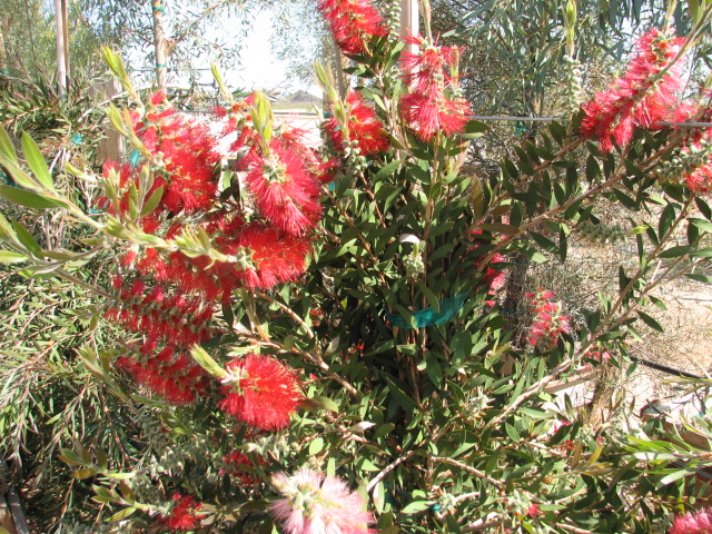 15 Violet Bottlebrush 24'' box.jpg