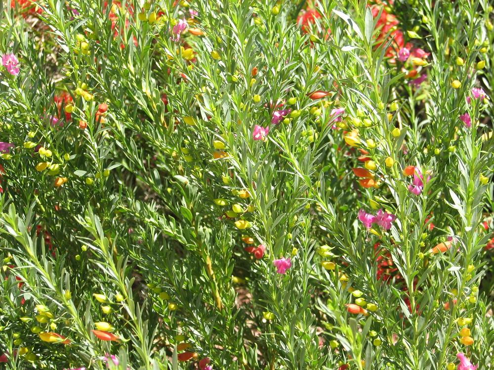24 Profuse flowering HUMMINGBIRD ATTRACTING.jpg