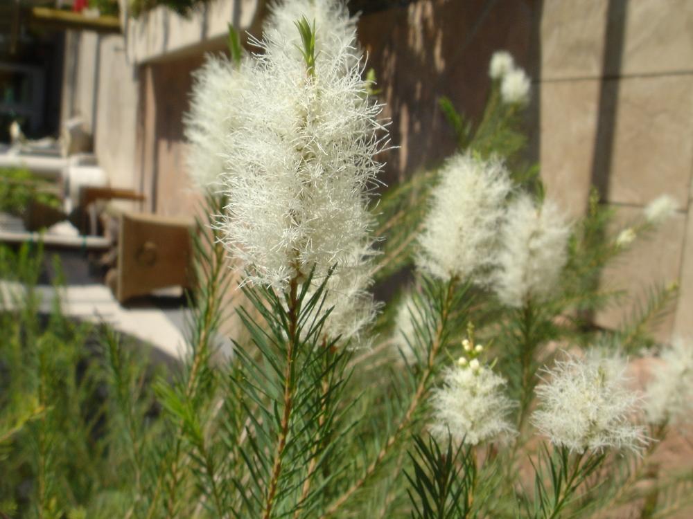 28 M. alternifolia  Summer flowering.jpg