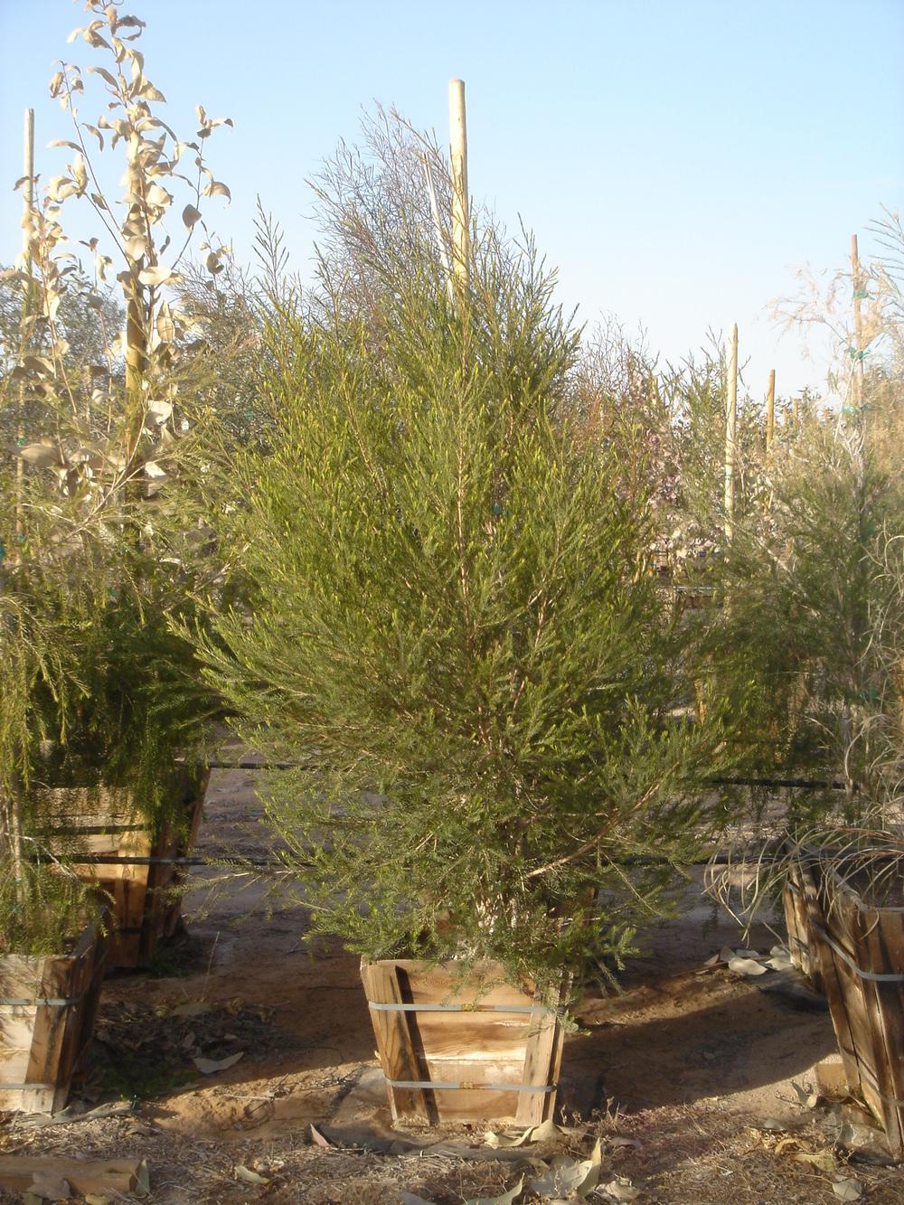 28 M. alternifolia 24'' Box.jpg