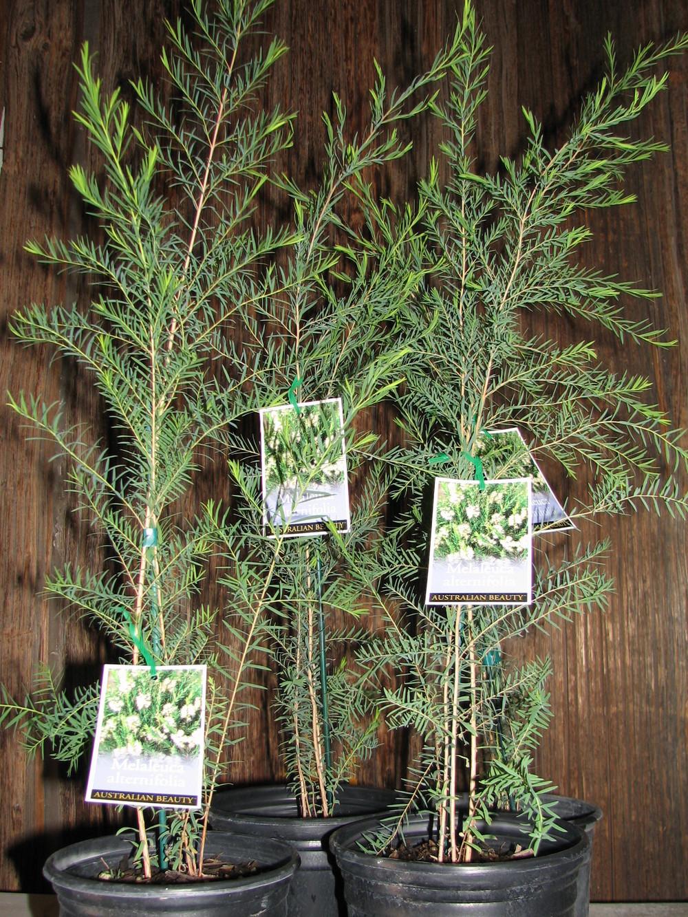 28 Mel.alternifolia 1 gal six pack.jpg