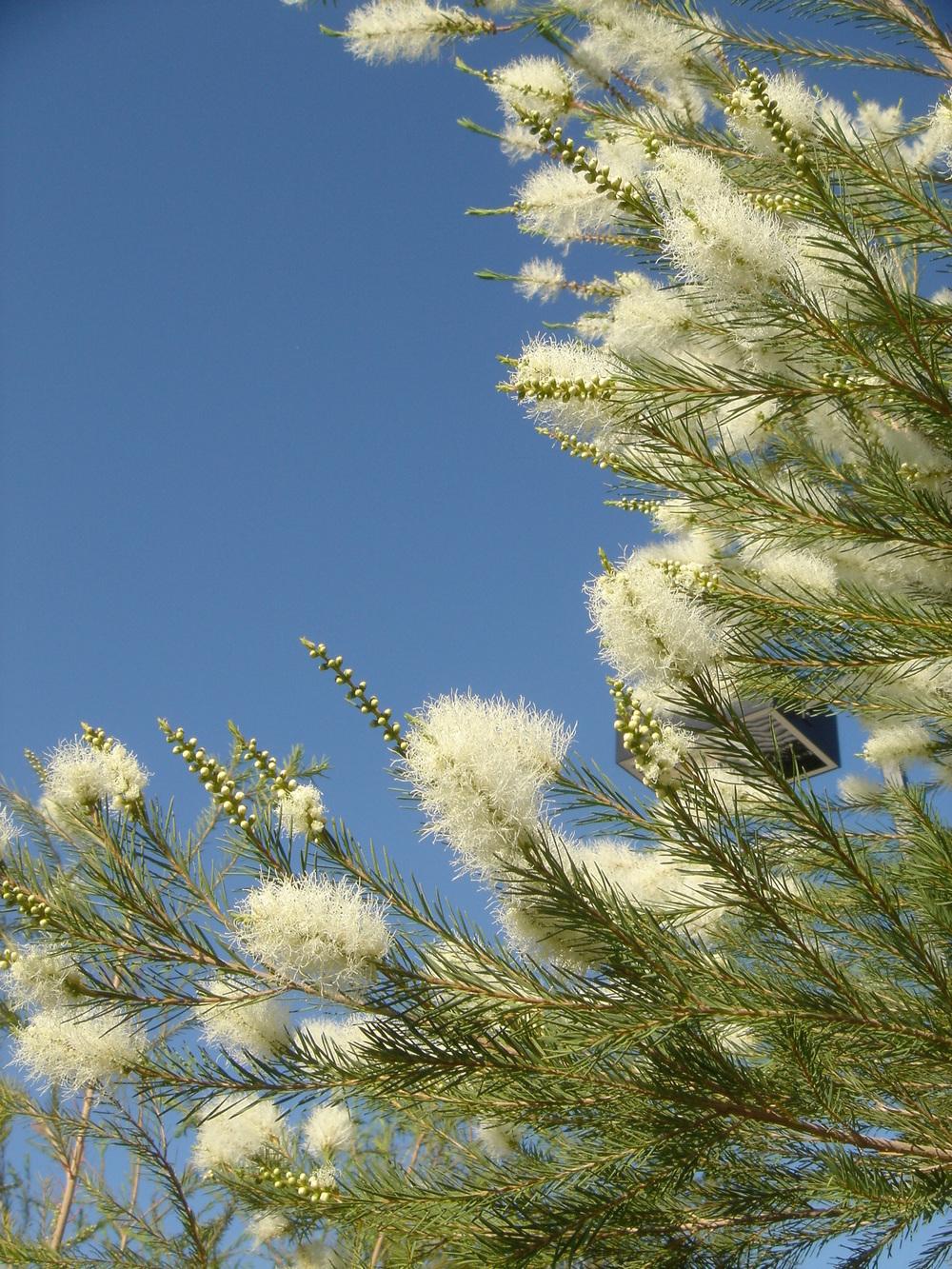 28 Melaleuca alternifolia MEDICINAL TEA TREE OIL.jpg