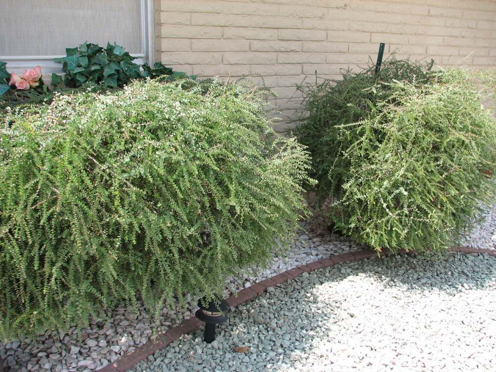 30 M. elliptica CLIPPED HEDGE.jpg