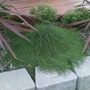 casuarina-cousin-it.4_l.jpg