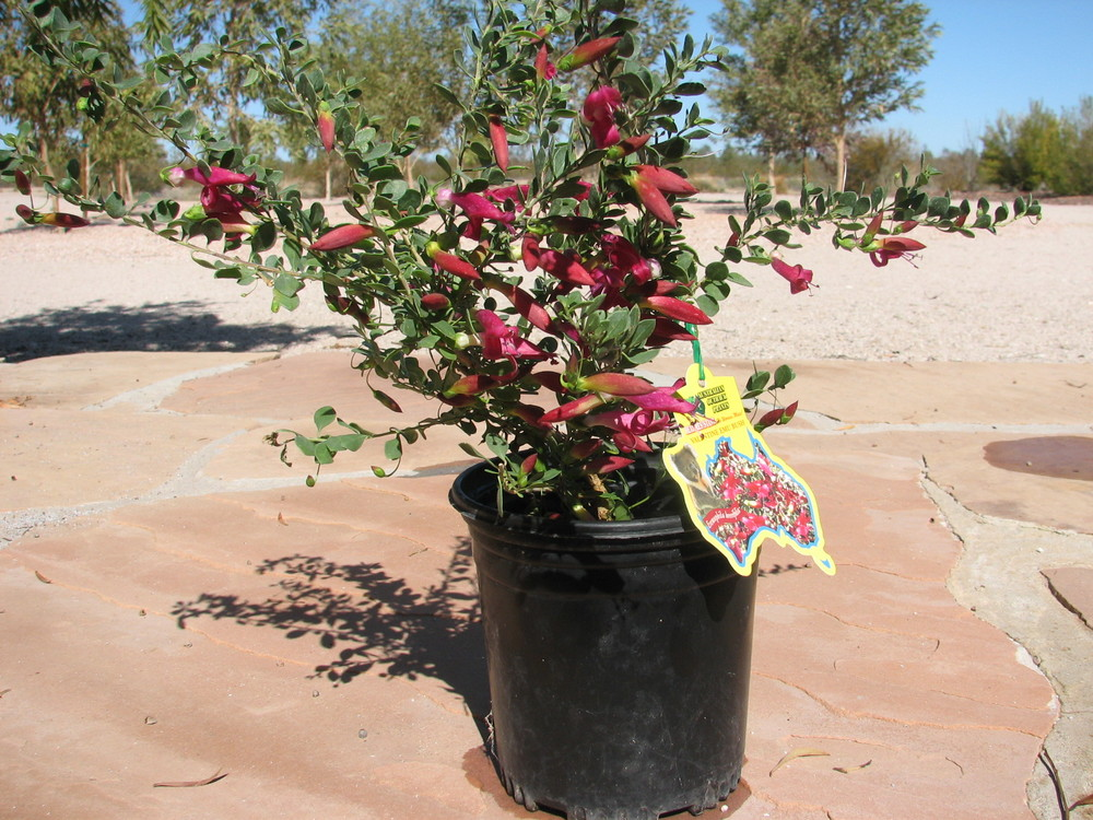 25 E.''Valentine'' 1 gallon flowering specimen.jpg