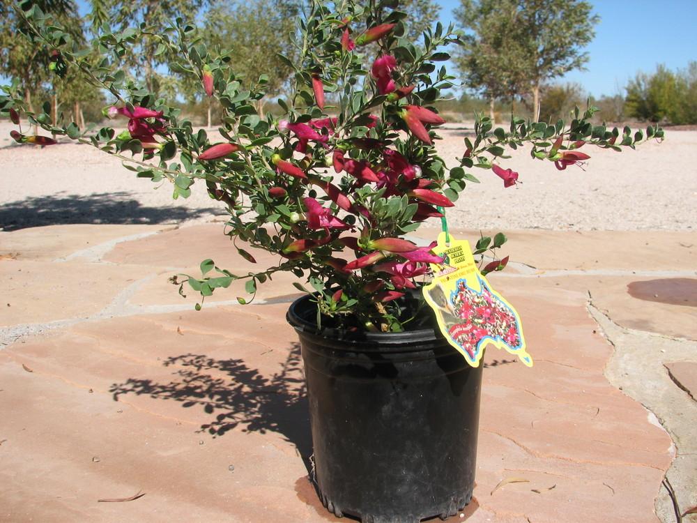 25 E.''Valentine'' 1 gallon flowering specimen.jpg