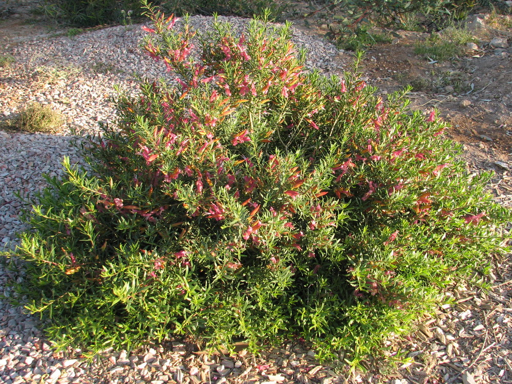 19 Carmine star SMALL ROUNDED SHRUB.jpg