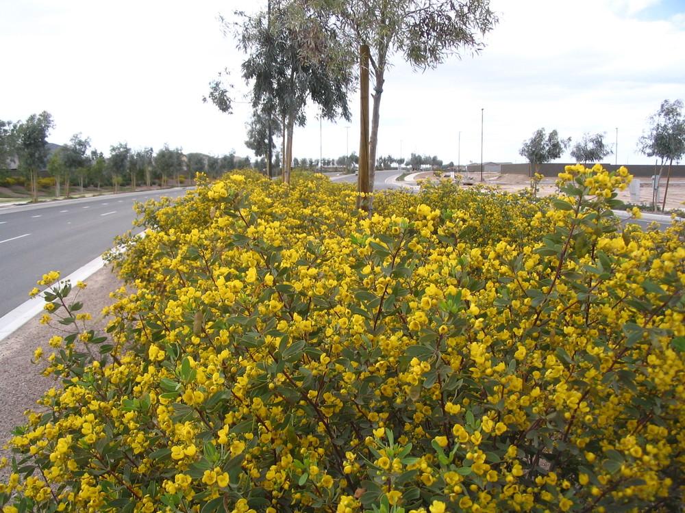 41 Senna oligophylla OUTBACK CASSIA.jpg