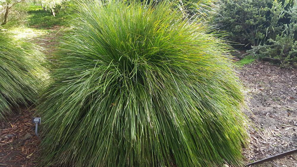 lomandra longifolia  u2018lm300 u2019 breeze u2122 pp15 420  u2014 australian
