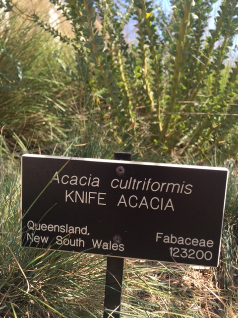Acacia-cultriformis-knife acacia-sign.JPG