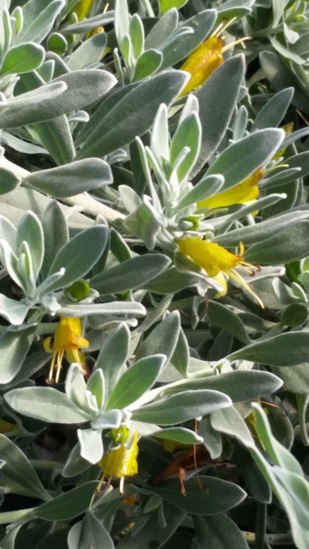 Eremophila glabra kalgoorlie - Kalgoorlie Gold™