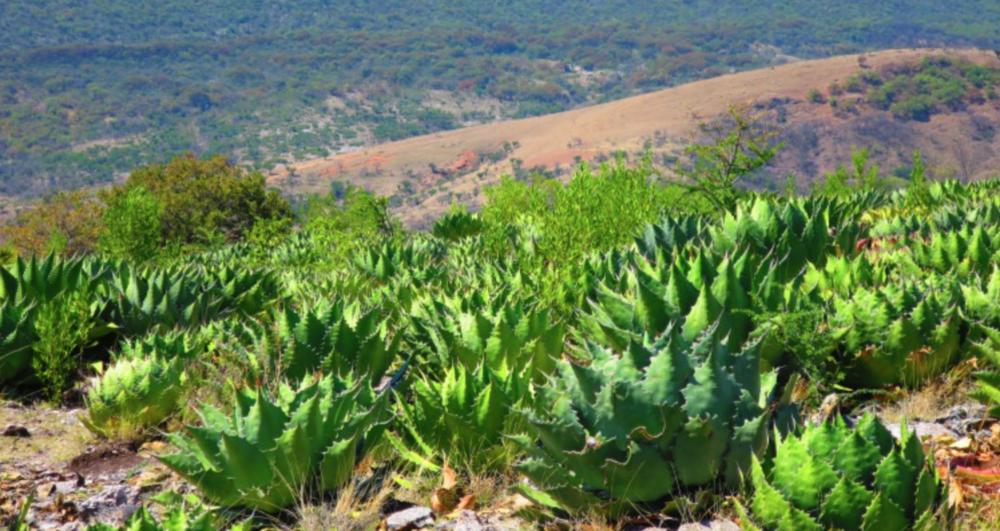 Nuova denominazione d'origine per il Mezcal - L'Istituto Messicano della Proprietà Industriale (IMPI) ha approvato l'inclusione di 115 comuni dello stato messicano nella Denominazione d'Origine Mezcal (DO): lo ha annunciato Pedro Ramirez Huerta, presidente dell'Associazione dei Distillatori di Puebla.