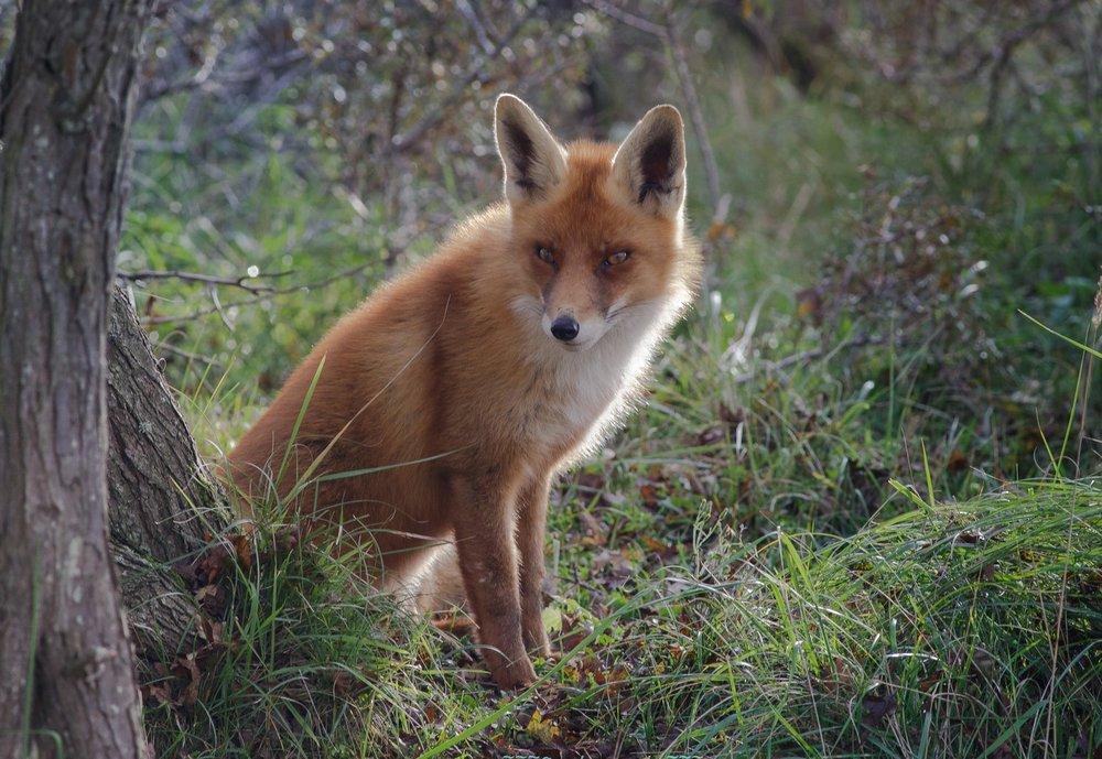 The Fox-2.jpg