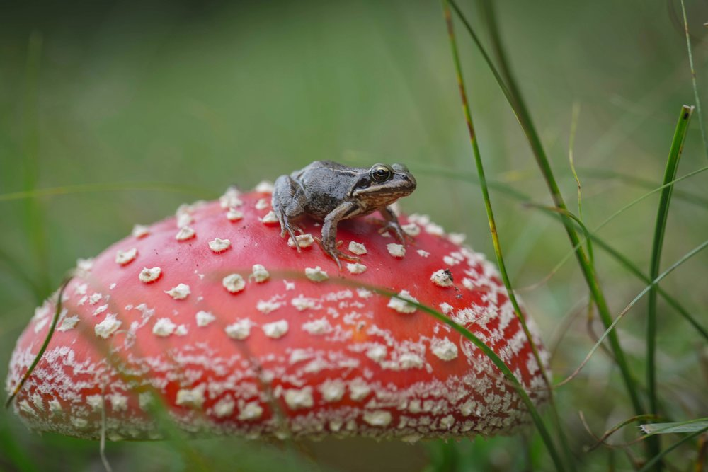 On the look out for autumn (Vliegenzwam Amanita muscaria).jpg