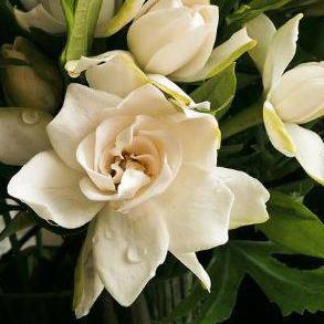 Ada Gardenia