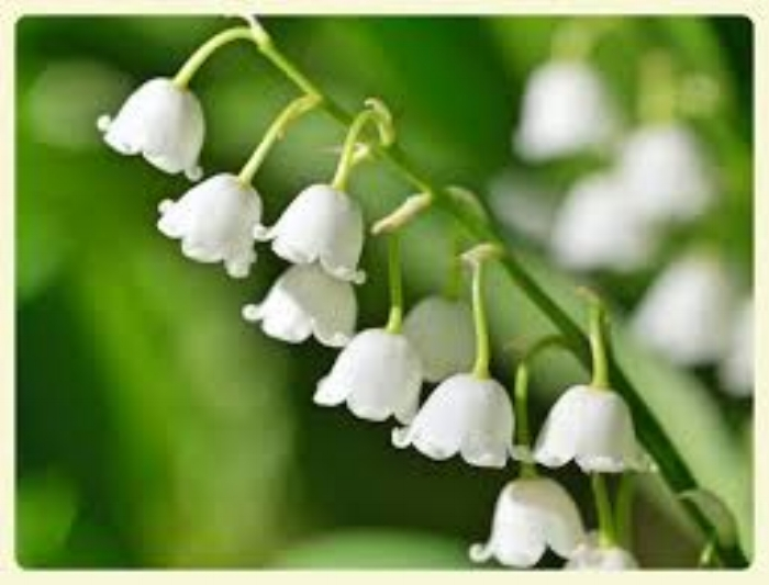 Muguet Lily of the Valley Frassai blog