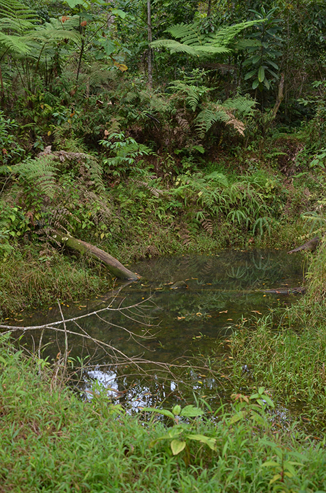 This is one of several ponds on the CRARC reserve in the Talamanca Mountains of Costa Rica.  Habitat modifications such as these provide crucial breeding habitat for frog species such as Cruziohyla calcarifier, Hylomantis  lemure and a variety of Agalychnis species. (photo © Ron Skylstad)