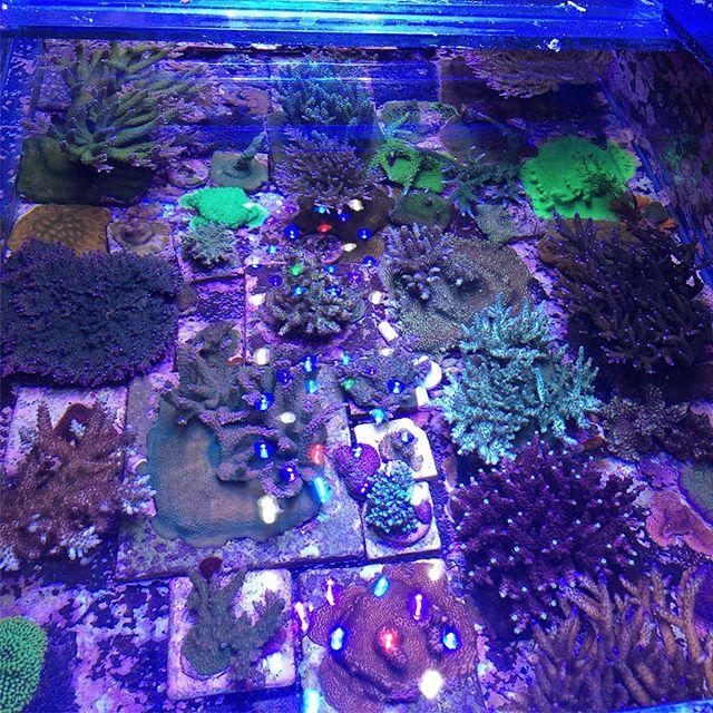 Some of the Acropora crop growing at Indoor Ecosystems. #acropora #reeftank #coral #propagation