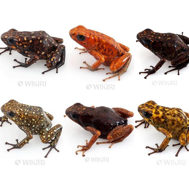 Stunning PARU from Wikiri in 2018!  Available for the Fall shipment, we have a boggling variety of colors and patterns from this incredible locality of Oophaga sylvatica.  All the frogs pictured and many more are available as WYSIWYG subadults and young adults. These exceptional dendrobatids have been sustainably produced and reared in terraria by Wikiri Selva Viva, with proceeds going to support amphibian conservation and research at Centro Jambatu.  All 'Paru' O. sylvatica are $450 each, and can be reserved with a 25% deposit for delivery in the next shipment planned for late September 2018.  Just email me at info@indoorecosystems.com to view the Google folder containing photos of all available frogs, to place your order, or for any additional details.  Thank you once again for your support of Ecuadorian amphibian conservation and research through purchases of LEGAL and SUSTAINABLE frogs from Wikiri!  Hope you are all having a fantastic summer.... #wikiri #sustainable #amphibian  #oophaga #sylvatica #ecuador #amphibianconservation #dartfrog