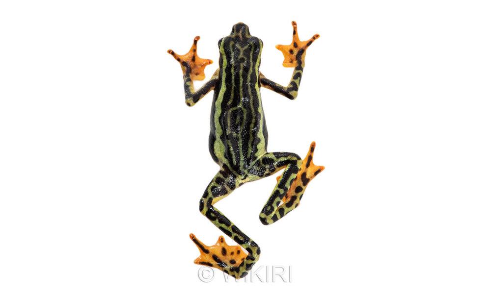 Atelospus+elegans.jpg