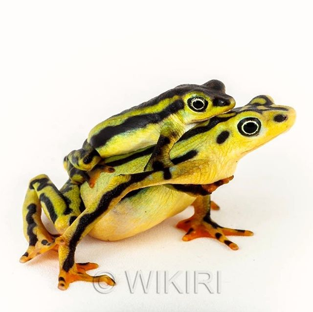 We are now taking pre-orders for captive bred Atelopus elegans from @Wikiri Selva Viva for March 2019!  #atelopus #captivebred #sustainable #amphibians #dartfrog #dartfrogs #vivarium